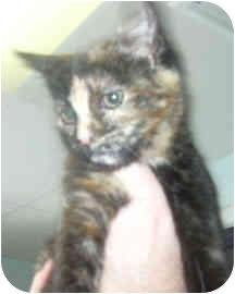 Domestic Shorthair Kitten for adoption in West Warwick, Rhode Island - Cassie