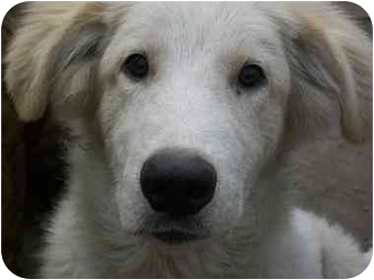 Great Pyrenees/Golden Retriever Mix Puppy for adoption in Foster, Rhode Island - Buddy O