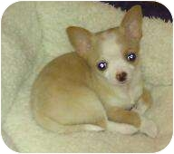 Chihuahua Mix Puppy for adoption in Phoenix, Arizona - Thatcher - adoption pending