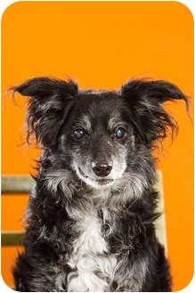 Sheltie, Shetland Sheepdog Mix Dog for adoption in Portland, Oregon - Batman