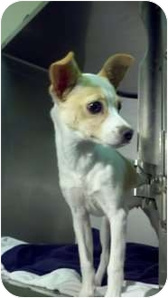 Chihuahua Mix Puppy for adoption in Niceville, Florida - Tia