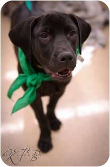 Golden Retriever/Labrador Retriever Mix Puppy for adoption in Knoxville, Tennessee - Violet