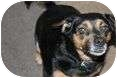 Beagle/Chihuahua Mix Dog for adoption in Kendallville, Indiana - Zoe