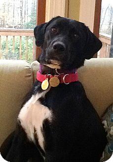 Labrador Retriever Mix Dog for adoption in Richmond, Virginia - Jackie