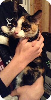 Domestic Shorthair Cat for adoption in Hazard, Kentucky - Cali