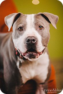 Pit Bull Terrier Dog for adoption in Portland, Oregon - Blue