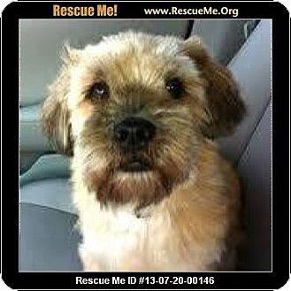 Lhasa Apso/Border Terrier Mix Dog for adoption in Boulder, Colorado - Carter