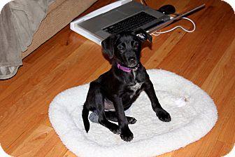 Labrador Retriever Mix Puppy for adoption in Naugatuck, Connecticut - Penelope