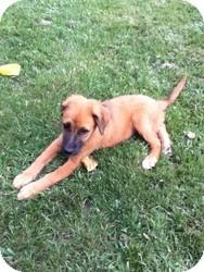 Shepherd (Unknown Type)/Collie Mix Dog for adoption in Media, Pennsylvania - Tasha
