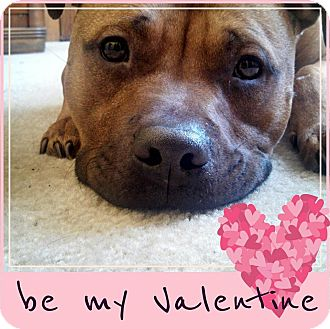 Pit Bull Terrier Mix Dog for adoption in Greendale, Wisconsin - Little Bear