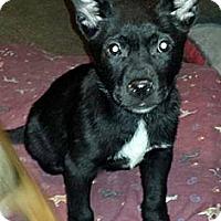 Adopt A Pet :: Garbanzo - East Rockaway, NY