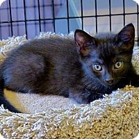 Adopt A Pet :: Inky - Victor, NY