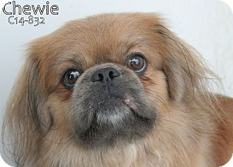 Pekingese Mix Dog for adoption in Tiffin, Ohio - Chewie