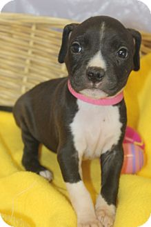 American Bulldog Mix Puppy for adoption in Waldorf, Maryland - Wendy