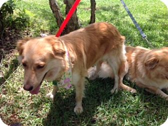 Golden Retriever Mix Dog for adoption in New Canaan, Connecticut - Beulah (and Bosco)