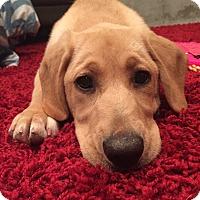 Adopt A Pet :: Toddy - Cumming, GA