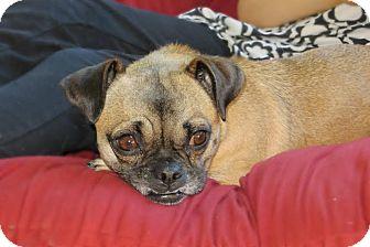 Pug/Chihuahua Mix Dog for adoption in China, Michigan - Stella