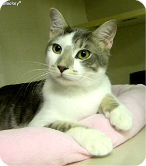 Domestic Shorthair Cat for adoption in Key Largo, Florida - Smokey