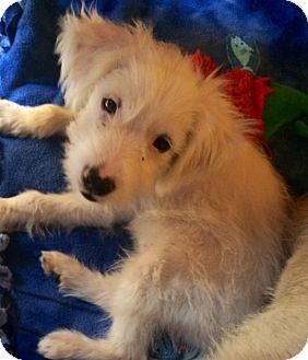Terrier (Unknown Type, Small) Mix Puppy for adoption in San Diego, California - GOLIATH