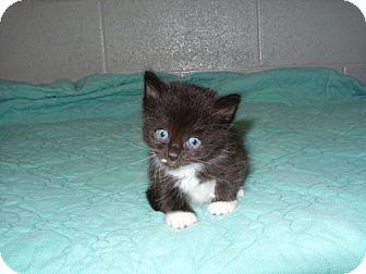 Domestic Mediumhair Kitten for adoption in Detroit Lakes, Minnesota - LJ