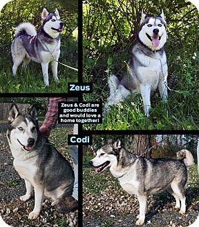 Siberian Husky Mix Dog for adoption in Boyertown, Pennsylvania - Codi and Zeus