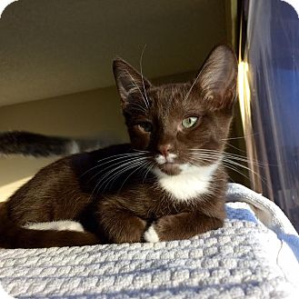Domestic Shorthair Kitten for adoption in Richmond, California - CoCo