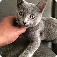 Adopt A Pet :: Little Moxie - Chicago, IL