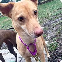 Pharaoh Hound Mix Dog for adoption in Hanna City, Illinois - Vinnie