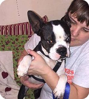 Boston Terrier Dog for adoption in Weatherford, Texas - Tyrone