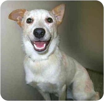 Australian Cattle Dog Mix Puppy for adoption in San Clemente, California - FOXY