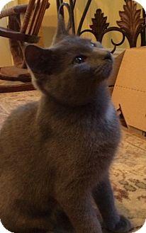 Domestic Shorthair Kitten for adoption in Columbus, Ohio - Gracie