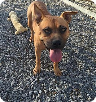 Boxer/American Bulldog Mix Dog for adoption in Lewisburg, Tennessee - Witchy