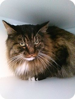 Norwegian Forest Cat Cat for adoption in Divide, Colorado - Melvyn
