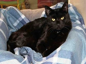 Domestic Mediumhair Cat for adoption in Hampton Bays, New York - RUSSELL
