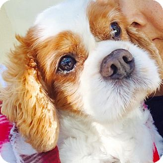 Cavalier King Charles Spaniel Dog for adoption in Sun Valley, California - Baily