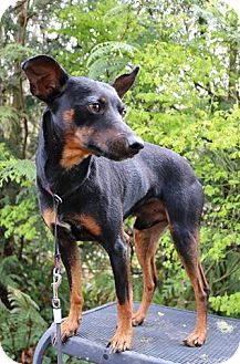 Miniature Pinscher Dog for adoption in Federal Way, Washington - Loki - Active and Fun