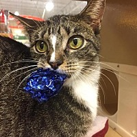 Domestic Shorthair Cat for adoption in McKinney, Texas - Rina