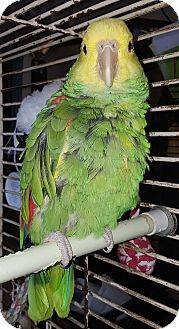 Parrot - Other for adoption in Los Angeles, California - LuLu