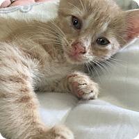 Adopt A Pet :: Nala - Morristown, NJ