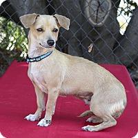 Adopt A Pet :: Chichi - Santa Barbara, CA