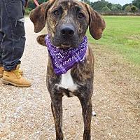 Adopt A Pet :: Bentley - St. Francisville, LA