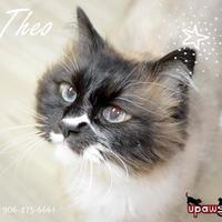 Snowshoe/Ragdoll Mix Cat for adoption in Negaunee, Michigan - Theo - Lonely Heart