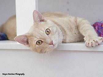 Domestic Shorthair Cat for adoption in Huntsville, Alabama - Scotch