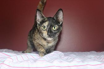 Domestic Shorthair Kitten for adoption in Herndon, Virginia - Sage