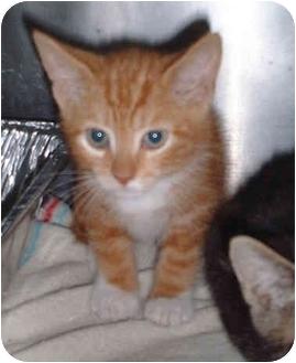 Domestic Shorthair Kitten for adoption in Honesdale, Pennsylvania - Balthazar