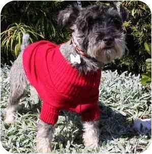 Schnauzer (Miniature) Dog for adoption in Redondo Beach, California - Sherlock