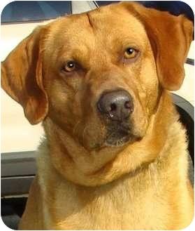 "Golden Retriever/Labrador Retriever Mix Dog for adoption in Pawling, New York - ""GENTLE BEN"""