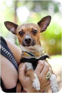 Chihuahua/Italian Greyhound Mix Dog for adoption in Sherman Oaks, California - Brad the sweet lap dog!