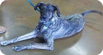 Great Dane/German Shepherd Dog Mix Dog for adoption in Scottsdale, Arizona - Phoenix