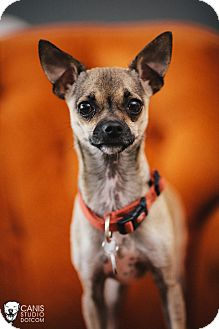 Chihuahua Mix Dog for adoption in Portland, Oregon - Chase